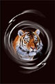 Click Here To Download Tiger